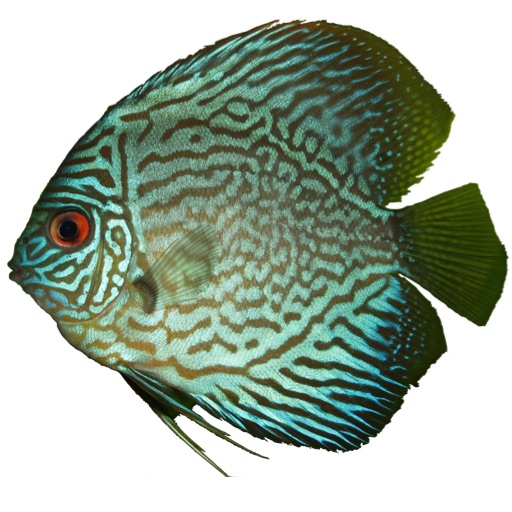 Disco the Discus Fish